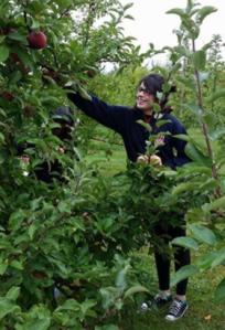 Apple picking in Massachusetts